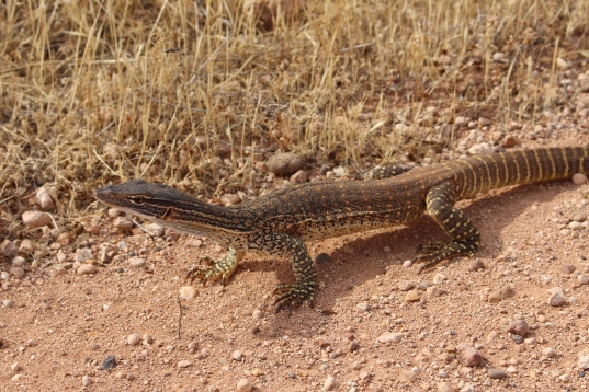 Varanidae_Varanus_gouldii_2017_11_13_Mid_North_South_Australia_03